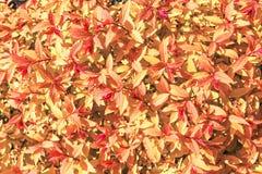 Piękni czerwieni, koloru żółtego i czerwieni liście, Obraz Royalty Free