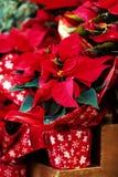 Piękni czerwoni boże narodzenia kwitną poinseci jako Bożenarodzeniowy symbol Fotografia Royalty Free