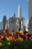 Beautiuful Chicago z tulipanami w wiośnie Zdjęcia Royalty Free