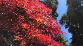 Piękni czerwoni liście Japoński klon zbiory wideo