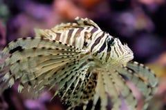 Piękni czerwoni lionfish Pterois volitans Fotografia Royalty Free