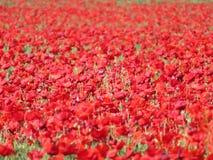 Piękni czerwoni maczki kwiaty pełno mieszali z zbożem fotografia royalty free