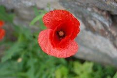 Piękni czerwoni makowi kwiatu i zieleni liście kwitnie dla ciebie fotografia stock