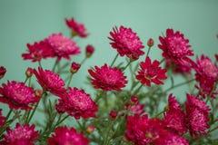 Piękni czerwoni mums Obrazy Royalty Free