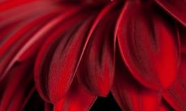 Piękni czerwoni płatki Obrazy Royalty Free