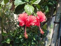 Piękni czerwoni poślubników kwiaty Obrazy Royalty Free