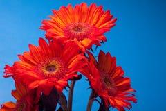 piękni czerwoni słoneczniki Fotografia Royalty Free