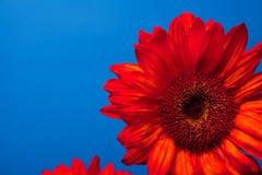 piękni czerwoni słoneczniki Zdjęcie Royalty Free