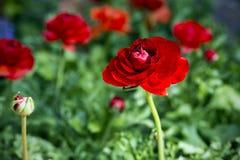 Piękni czerwoni soczyści kwiatów jaskiery Ranunkulyus Czerwona rewolucjonistka na słonecznym dniu w Hiszpańskim miasto parku obrazy royalty free