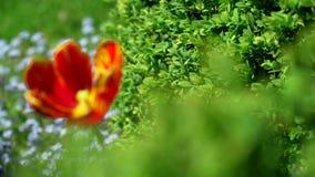 Piękni czerwoni tulipany w naturalnym domu uprawiają ogródek 4K ProRes 10bit