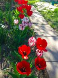 Piękni, czerwoni tulipany w ogródzie, zdjęcia stock