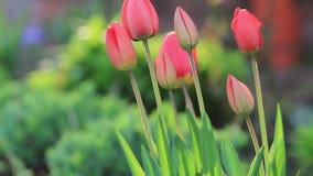 Piękni czerwoni tulipany w wieczór świetle zbiory