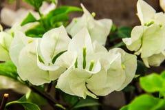Piękni Czuli Biali kwiaty W górę obraz stock
