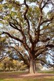 Piękni dębowi drzewa w parku Fotografia Royalty Free