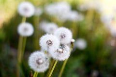 Piękni dandelions fotografia royalty free