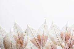 Piękni dekoracyjni kośców liście, przestrzeń dla teksta na białym tle i zdjęcia royalty free