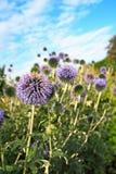 Piękni dekoracyjni osetu ogródu kwiaty Zdjęcia Stock