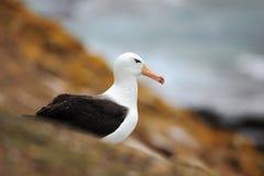 Piękni dennego ptaka Czarnobrewi albratross Albatrosa obsiadanie na falezie Albatros z zmrokiem - błękitne wody w tle albumy Fotografia Stock