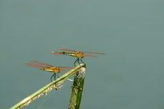 Piękni dragonflies obrazy royalty free
