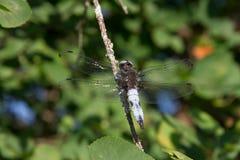 Piękni dragonflies blisko małej rzeki obraz stock