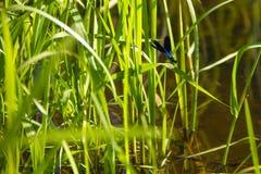 Piękni dragonflies blisko małej rzeki obrazy royalty free