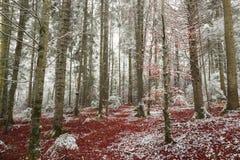 Piękni drzewa zakrywający w śniegu Zdjęcia Royalty Free