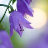 Piękni Fiołkowi kampanula kwiaty obraz stock