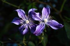 Piękni fiołkowi kwiaty odbijają ich elegancję zdjęcie stock