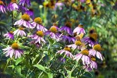 Piękni fiołkowi stokrotka kwiaty Fotografia Stock
