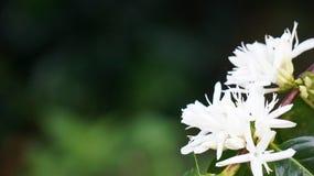 Piękni gayo lues kawy kwiaty obrazy royalty free