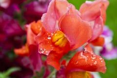 Piękni Genialni Czerwoni wyżliny w deszczu Obrazy Stock