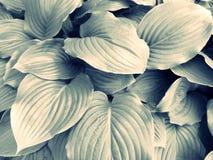 Piękni gigantów liście Obraz Stock