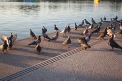 Piękni gołębie na podłoga, Tajlandia zdjęcia royalty free