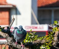 Piękni gołębie z pięknym zieleni i purpur grzebieniem siedzą na multilevel gałąź fotografia royalty free