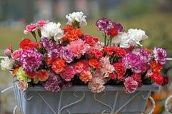 Piękni goździków kwiaty fotografia stock