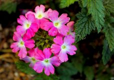 Piękni grono menchii kwiaty Verbena obsesja obrazy royalty free