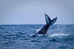 Piękni humpback wieloryby w wybrzeżu Ekwador zdjęcia royalty free