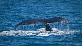 Piękni humpback wieloryby w wybrzeżu Ekwador zdjęcie royalty free