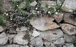 Piękni i unikalni biali mali kwiaty w ścianie przy Colonia Tovar grodzkim Wenezuela purpure i ywllow zdjęcie stock