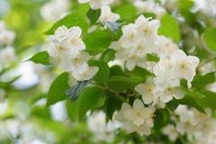 Piękni jaśminowi biali kwiaty zdjęcie royalty free
