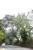 Piękni Jacaranda drzewa wzdłuż drogi popierają kogoś blisko Nainital Obraz Royalty Free