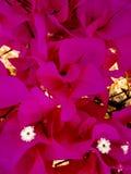 Piękni jaskrawi menchia kwiaty i trzy bielu zdjęcie stock