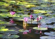 Piękni jaskrawi różowi Lotosowi kwiaty kwitnęli na jasnym jeziorze w t Obrazy Royalty Free