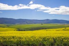 Piękni kołysanie się koloru żółtego, zieleni pola z górami w odległości z i Caledon, Zachodni przylądek, Południowy Afr fotografia stock