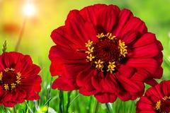 Piękni kolorowi kwiaty w polu, naturalny tło Zdjęcia Royalty Free
