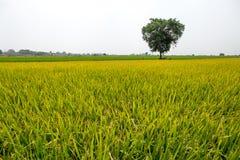 Piękni kolorowi zieleni i koloru żółtego ryż segregujący z dużym drzewem Obrazy Royalty Free