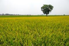 Piękni kolorowi zieleni i koloru żółtego ryż segregujący z dużym drzewem Obraz Stock