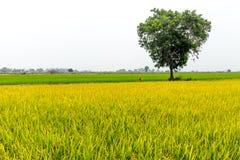 Piękni kolorowi zieleni i koloru żółtego ryż segregujący z dużym drzewem Zdjęcie Stock