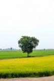 Piękni kolorowi zieleni i koloru żółtego ryż segregujący z dużym drzewem Zdjęcia Royalty Free