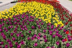 Piękni koloru żółtego, menchii i purpur tulipany w parku, Obrazy Royalty Free